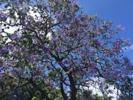Die lila Blüten dieses Baums sind in jedem Park sogar auf der Prachtsstrasse  Avenue de Liberdade anzutreffen.